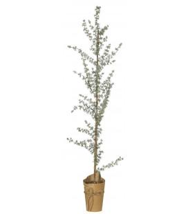 Cedertræ I Potte (130 cm)